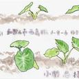 TKの絵封筒(5) ~里芋畑