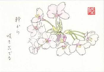 幹から直接、咲き出でた桜