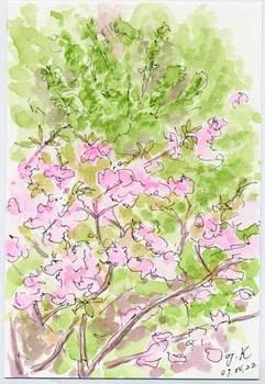 イチョウと八重桜